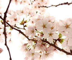 桜餅-葉っぱ-食べる?-マナー-道明寺-関西-長命寺-関東-違い-桜画像