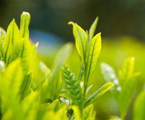 ティーオイル-茶油-作り方-食用-効果-効能-お茶の木-画像