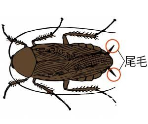ゴキブリの卵-孵化期間-何匹生まれる--駆除方法-尾毛-画像
