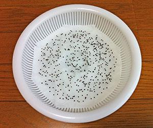 ブロッコリースプラウト 栽培 育て方 栄養 効果 食べ方 種まき画像